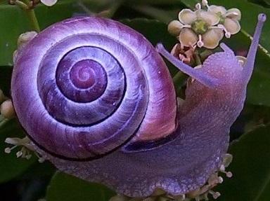 PurpleSnail_small